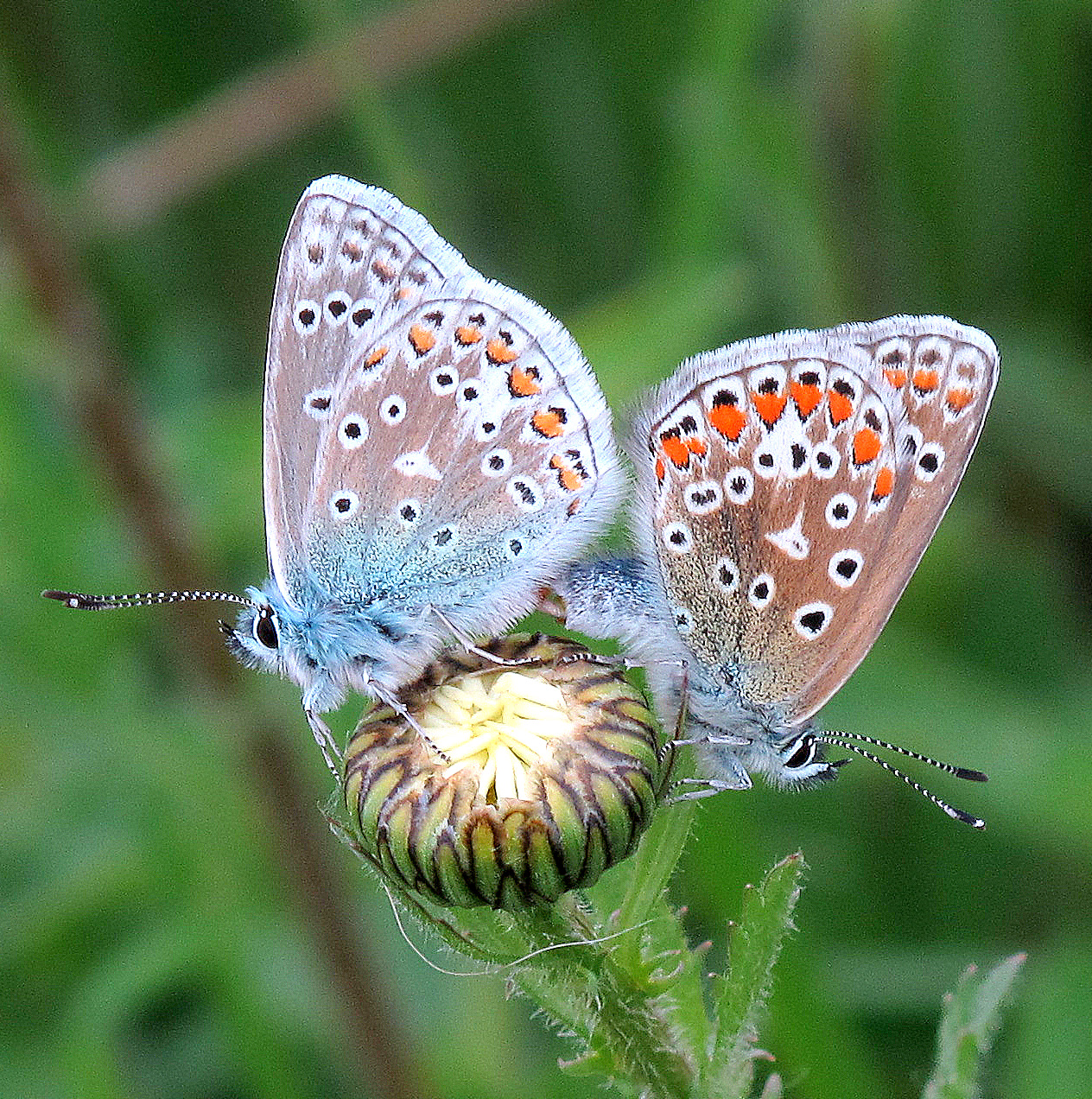 A Good Year for Butterflies at Carymoor